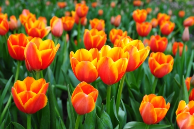 Beautiful Spring Flowers Tulips